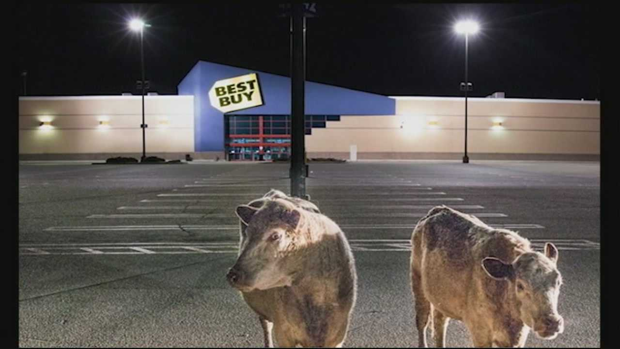 Some unusual visitors were spotted at the Mall of New Hampshire on Monday night when two cows wandered into the parking lot after hours.