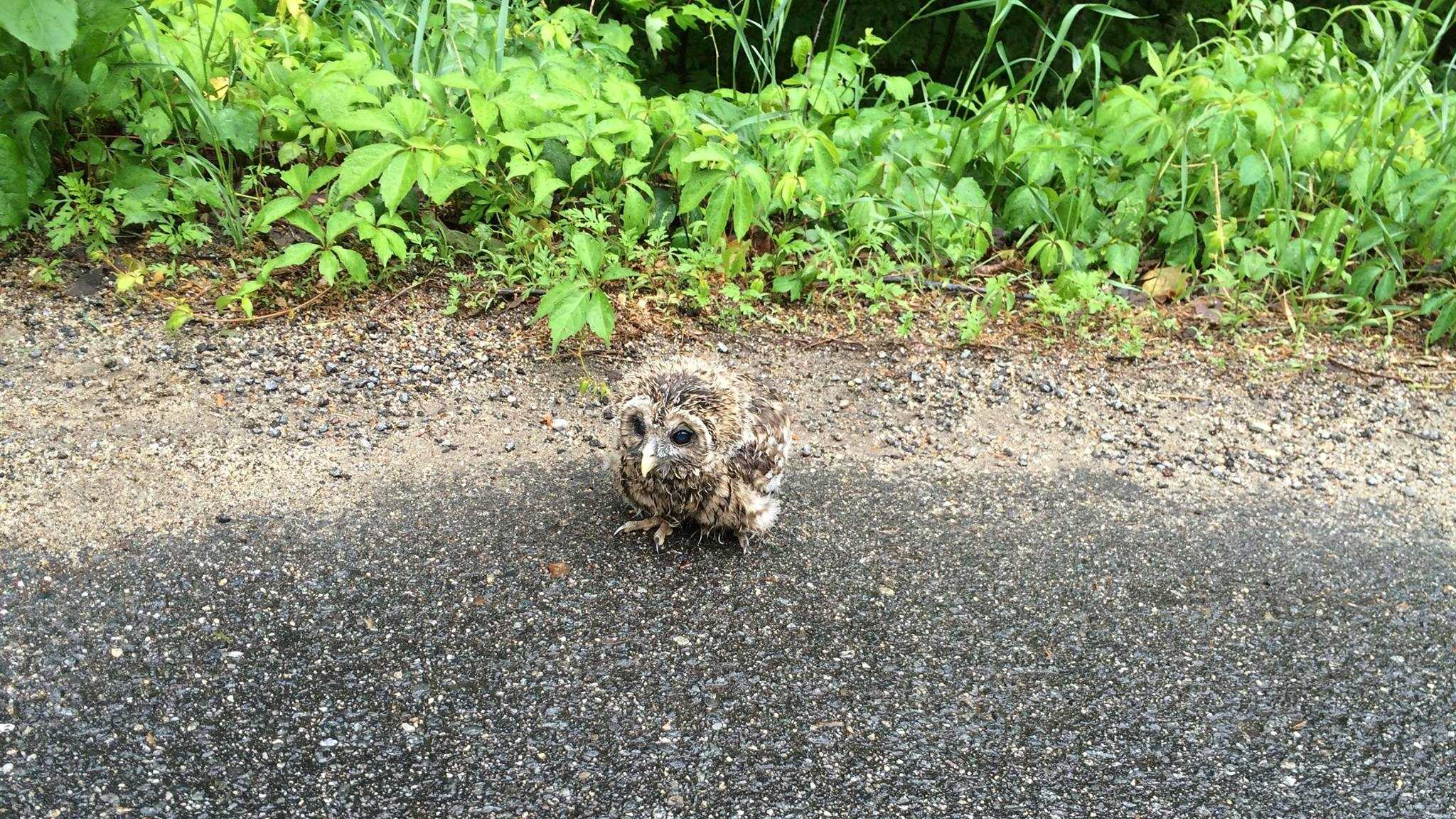 Someone spotted the owlet near a school bus stop on Pond Street, with its mother perched in the trees above.