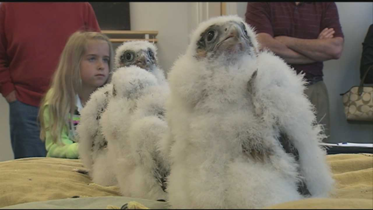 Peregrine falcon chicks that make their home on top of the Brady Sullivan Tower in Manchester were given leg bands Wednesday.