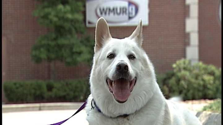 To adopt Iggy contact the Humane Society for Greater Nashua: 603-889-2275 &#x3B;www.hsfn.org