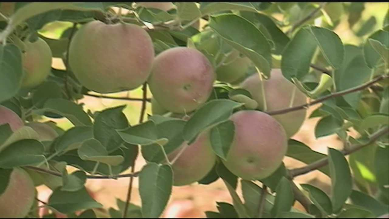 It's apple-picking season in New Hampshire, and we're visiting one of the state's many orchards for Weather Wednesday.