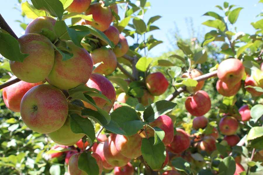 12 tie. Currier Orchards in Merrimack