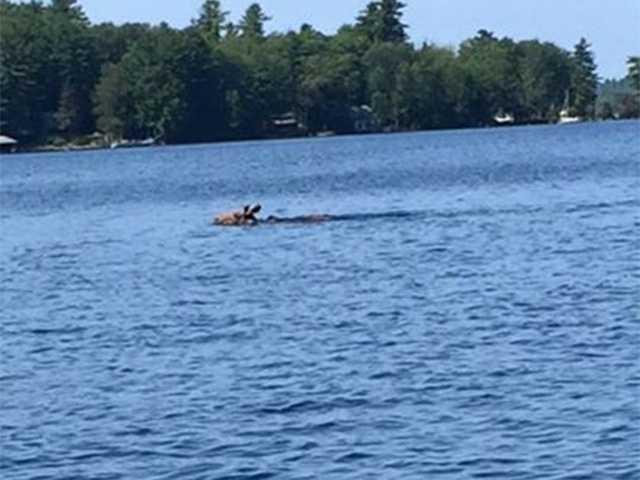 This moose was seen swimming in Lake Winnipesaukee in Gilford near Rattlesnake Island around 1:20 p.m. Wednesday.