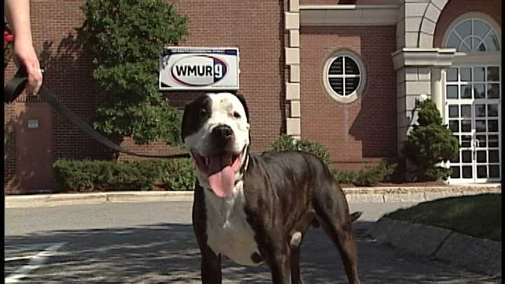 To adopt Duke, contact the Animal Rescue League of NH: 603-472-DOGS (3647)www.RescueLeague.org