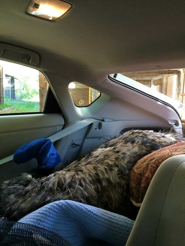 An emu that ran loose through Bow for more than a week was taken back home to Vermont in the back of a Prius.