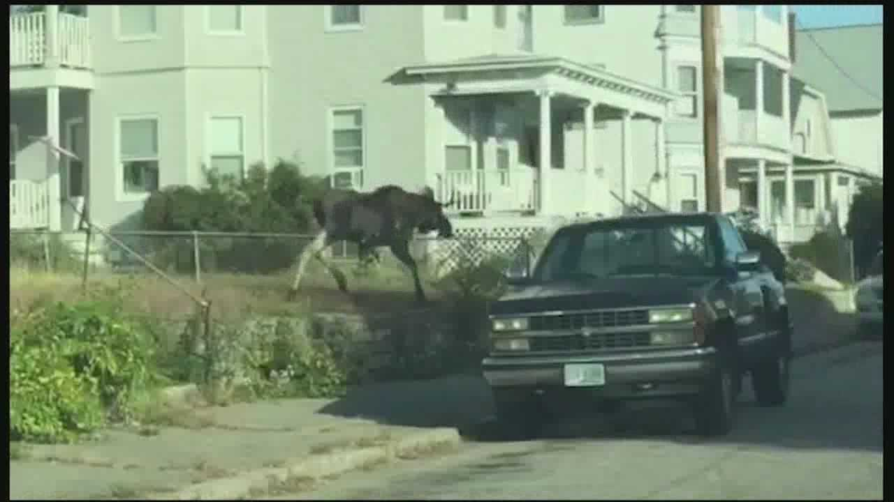A moose was spotted running through Manchester's West Side Sunday morning.