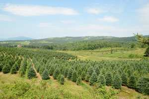 7 tie. Weir Tree Farms in Colebrook
