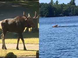 And a moose on the loose is always good for a laugh.Read more: http://www.wmur.com/news/moose-spotted-inside-nashua-cemetery/35279826 and http://www.wmur.com/news/moose-seen-running-through-manchester-streets/35646136.