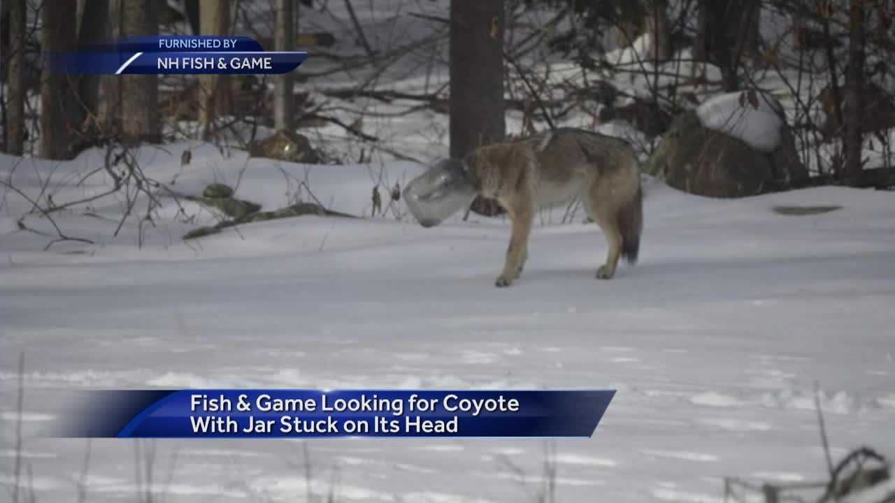 Fish and Game search for Coyote stuck in jar.