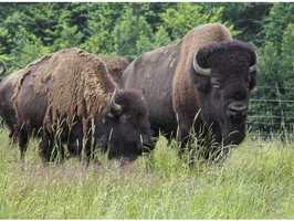 Most notably, the property sits atop a 100% all natural grass fed bison and beef farm.