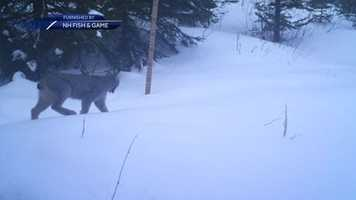 Researchers watching the populations of small carnivores in northern New England are excited to share these photos of a Canada lynx.