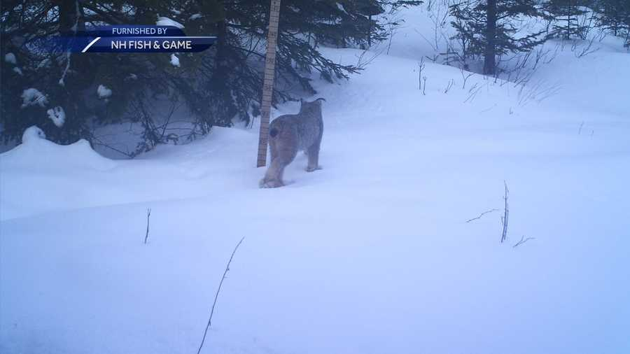 Spotting a Canada lynx is considered a rare sight in New England.