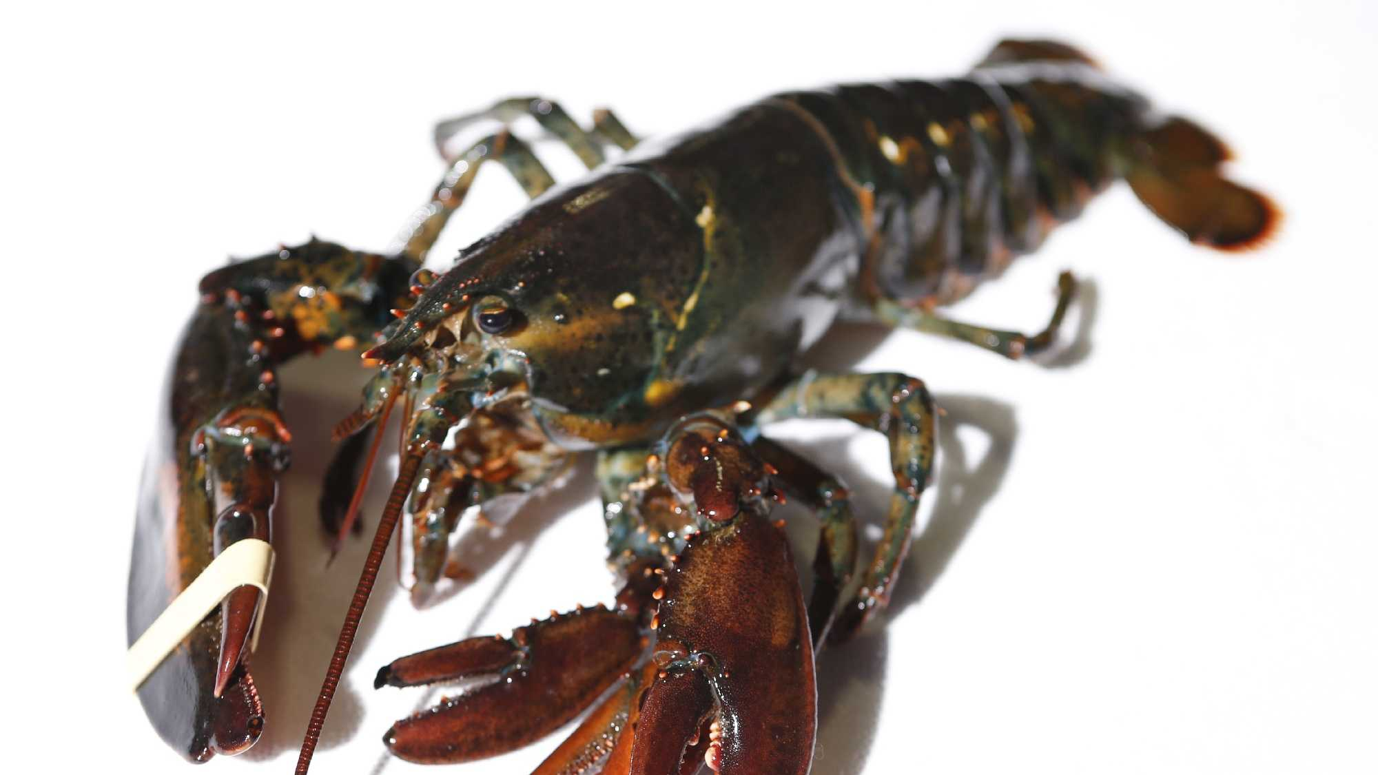A four-clawed female lobster is seen at Ready Seafood Co., Thursday, March 10, 2016, in Portland, Maine. The crustacean was most likely caught in Canadian waters before being sold to the wholesale lobster company. The owners said it will be given to the state's marine resource lab.
