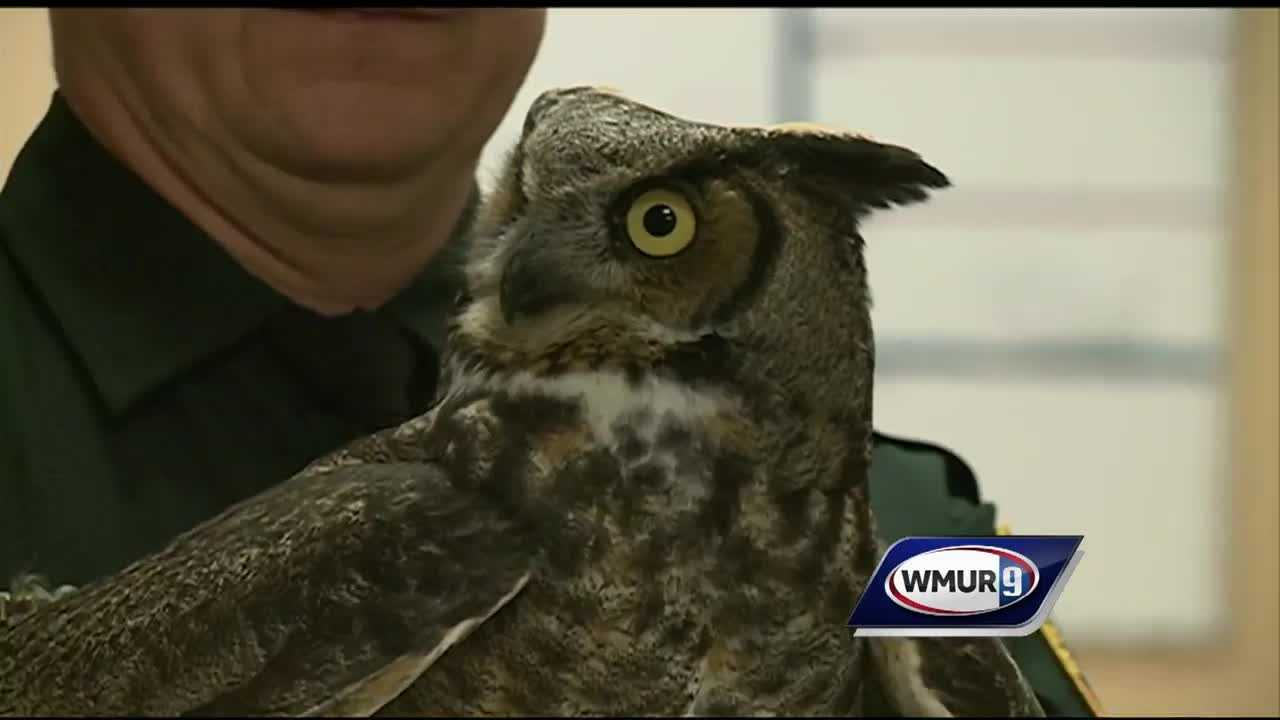 An owl that flew into the car of an off duty state trooper was released into the wild today after he was given a clean bill of health.