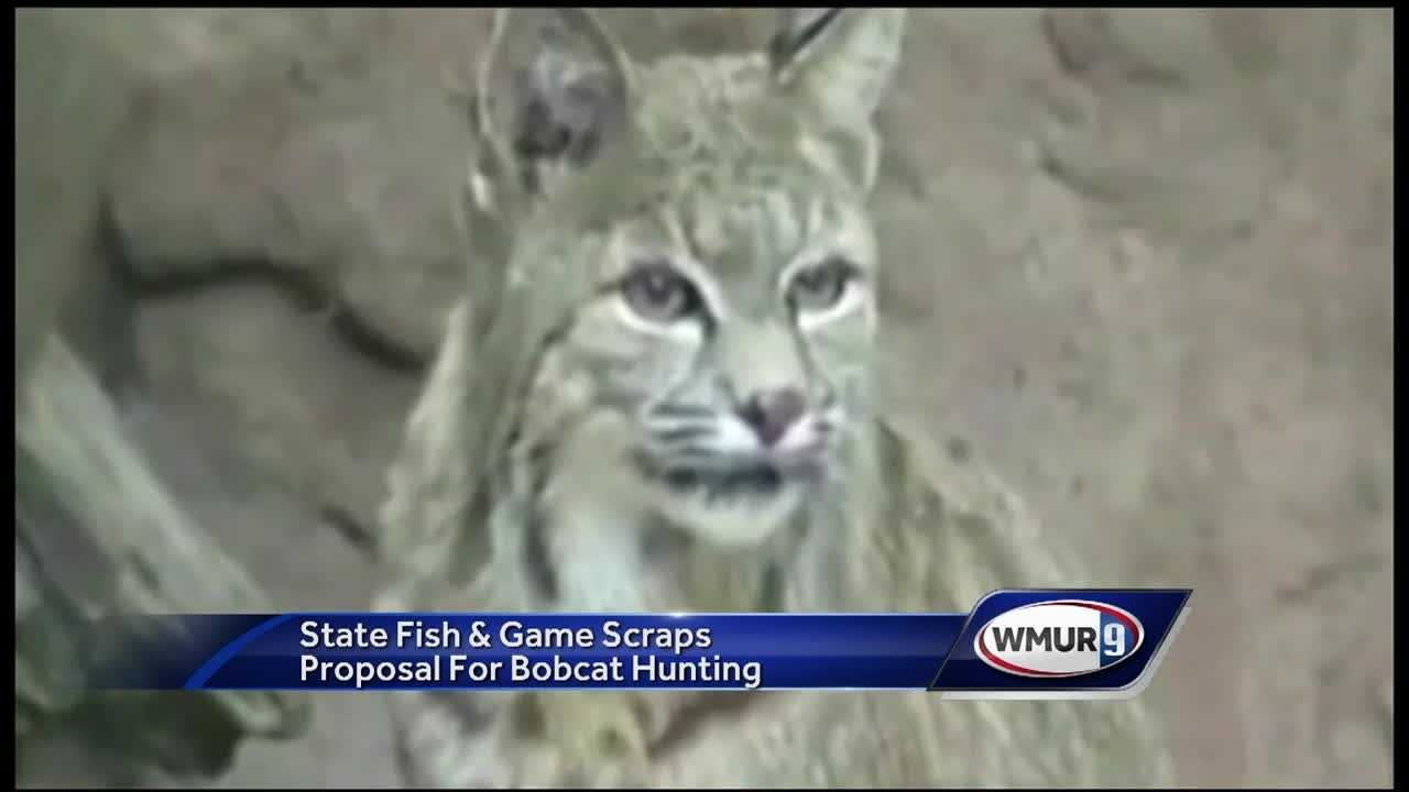In the wake of public outcry, the Fish and Game Commission is withdrawing a proposal to allow bobcat hunting and trapping in New Hampshire.