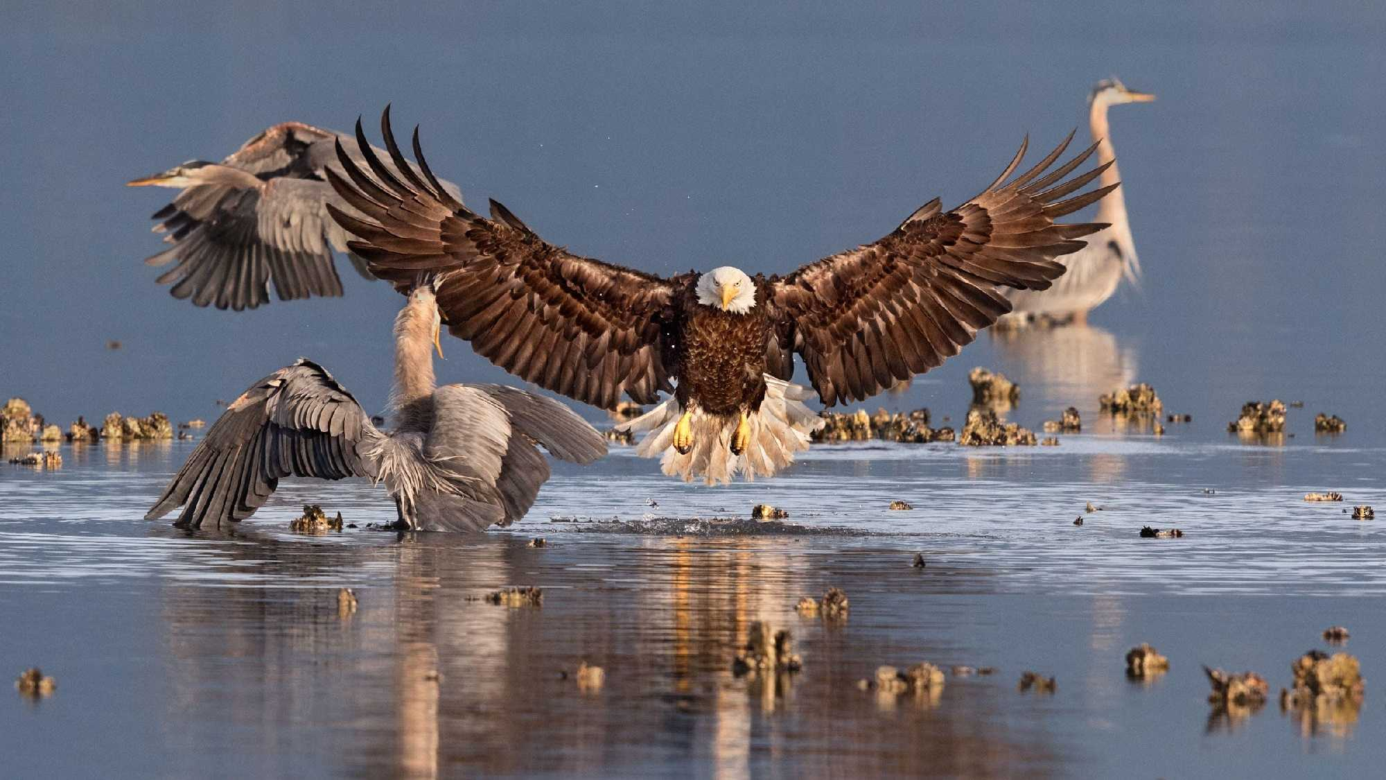 Grand Prize Winner - A bald eagle with a great blue heron by Bonnie Block/Audubon Photography Awards