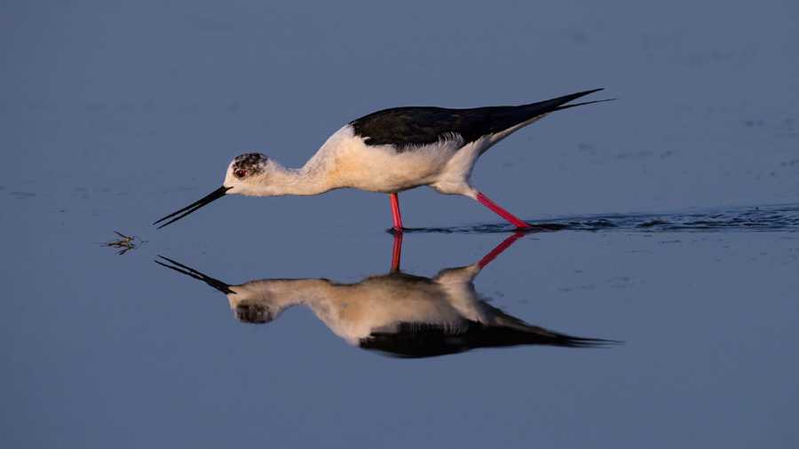 Amateur Honorable Mention - Black-winged Stilt by Artur Stankiewicz/Audubon Photography Awards.