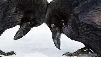 Amateur Honorable Mention - Common Raven by Colleen Gara/Audubon Photography Awards.