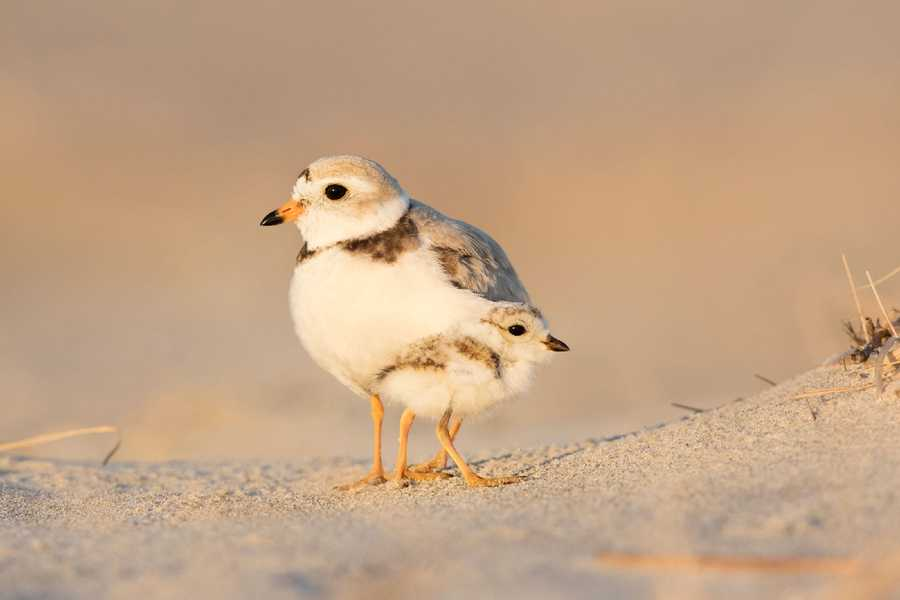 Amateur Honorable Mention - Piping Plover by Martin V. Sneary/Audubon Photography Awards.