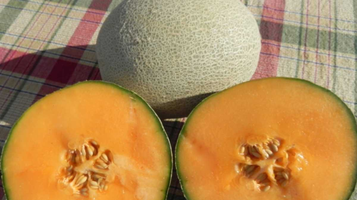 Shockwave, a long shelf-life cantaloupe with higher sugar content than most varieties, is available from Holmes Seed Co. and Harris Seeds.