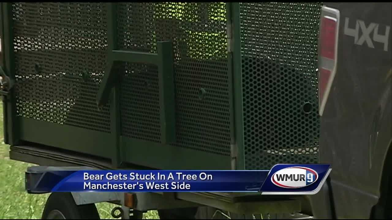A black bear perched in a tree Friday morning in Manchester after efforts to encourage it back into the woods went nowhere.