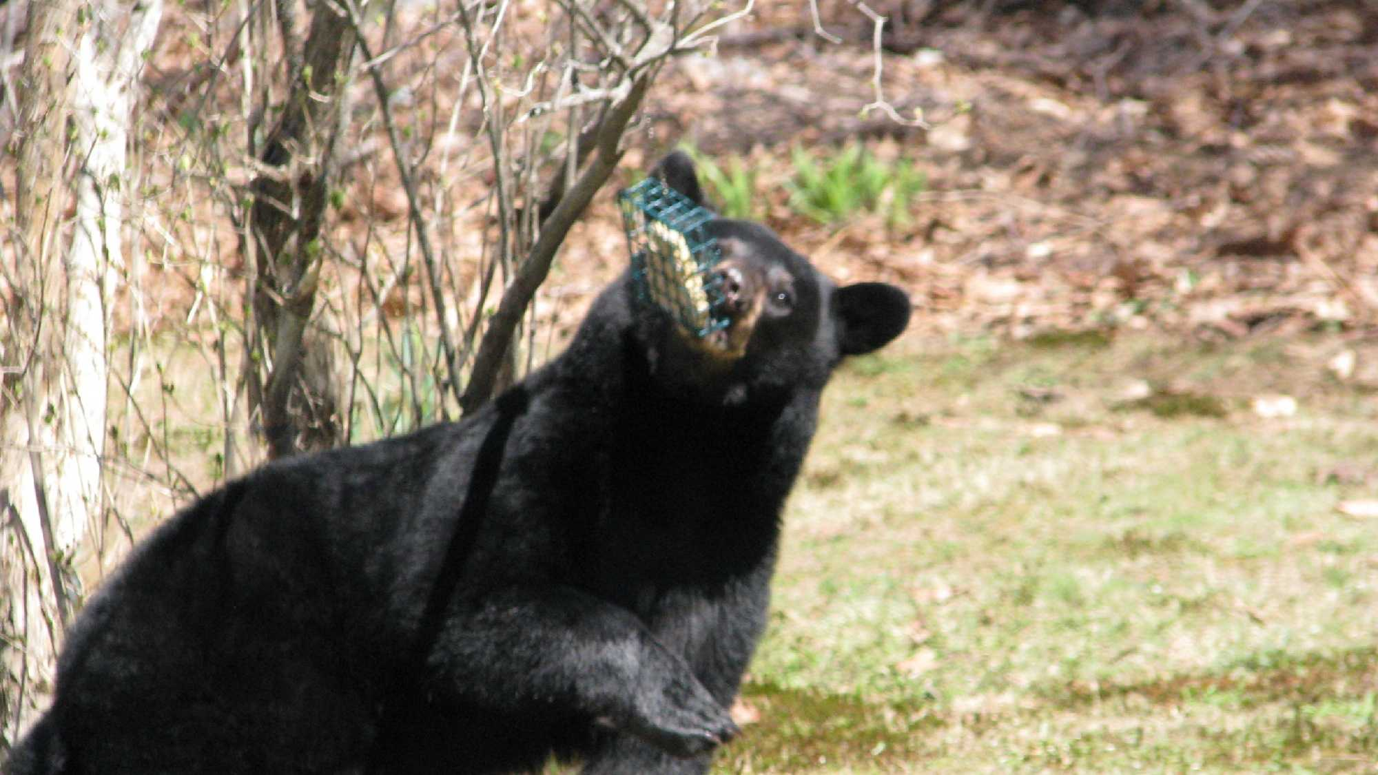Bears are often attracted by bird feeders.