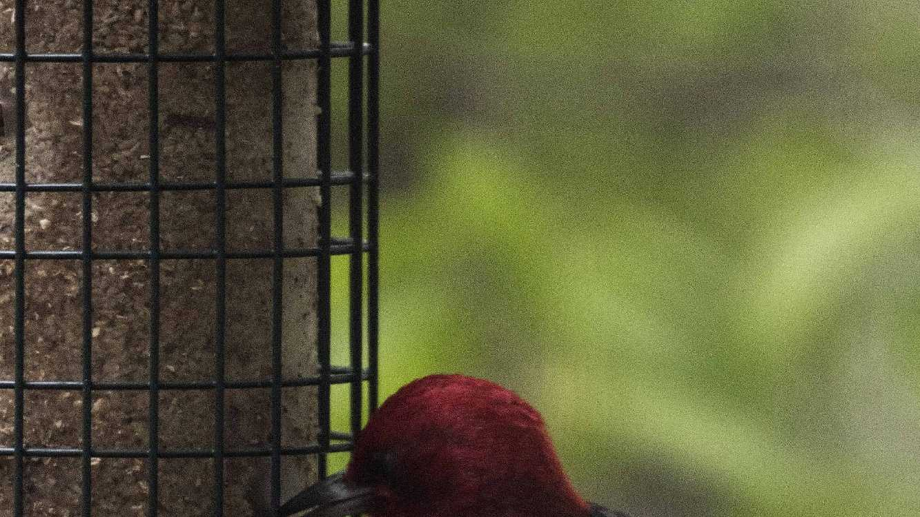 Red-headed woodpecker spotted by Alton couple, Mark and Roseann Foster.