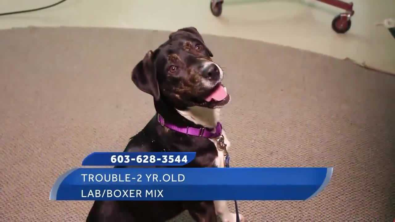 To adopt Trouble, contact the Manchester Animal Shelter:www.ManchesterAnimalShelter.org&#x3B;603-628-3544