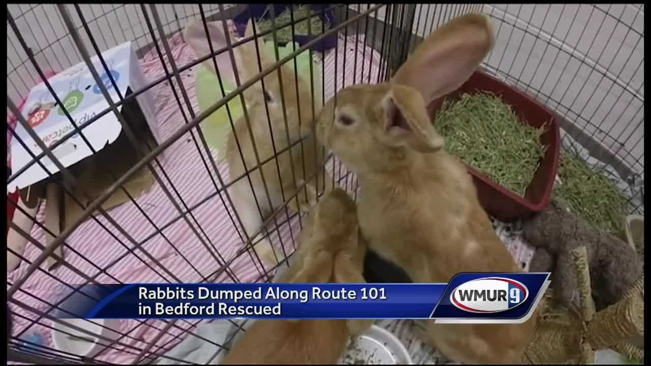 A Good Samaritan gets the credit for rescuing 10 rabbits dumped along a busy road in Bedford, now being cared for at the Animal Rescue League of New Hampshire.