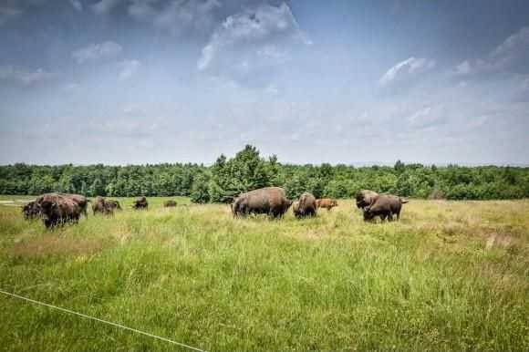 Grass fed bison beef roam on the home's farm land.