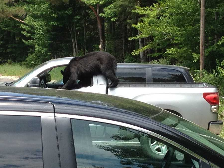 Check out photos of a bear seen climbing into a pickup truck in the parking lot of the Mount Washington Hotel.