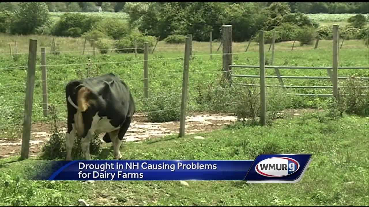 Dairy farmers in New Hampshire are hoping for rain as they watch their feed supplies dwindle and look for other ways to provide to provide for their cows.