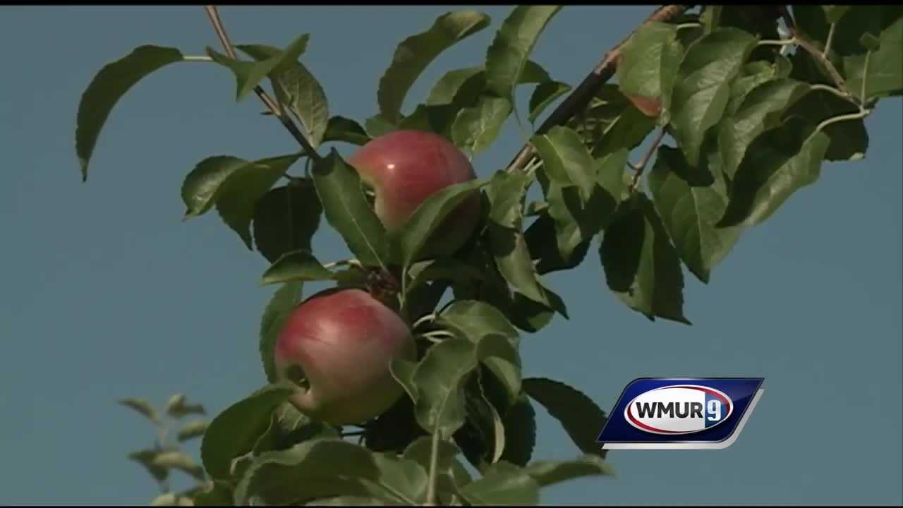 Farmers are continuing to struggle with the ongoing drought in New Hampshire, which is now affecting the apple crop.