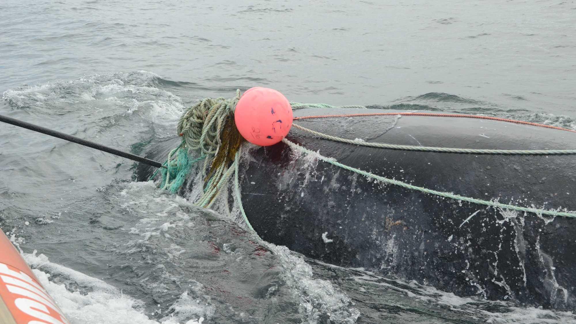CREDIT: Campobello Whale Rescue