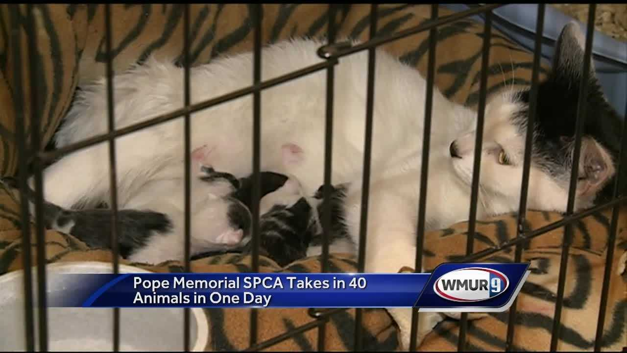 The Pope Memorial SPCA in Concord took in 40 new animals on Thursday, including two dogs and 38 cats. Some of them are pregnant.