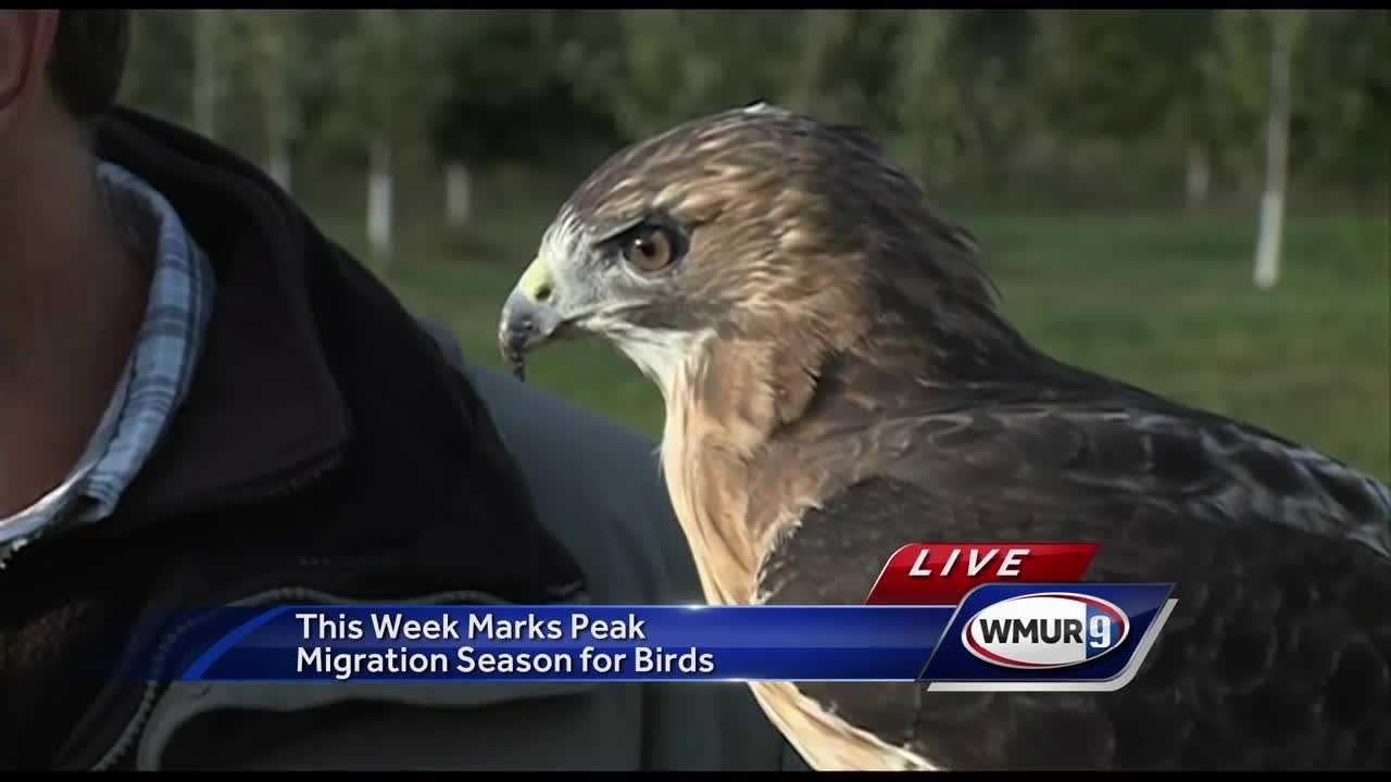 Chief Meteorologist Mike Haddad is in Concord at Carter Hill Observatory in the middle of peak migration season for birds of prey.