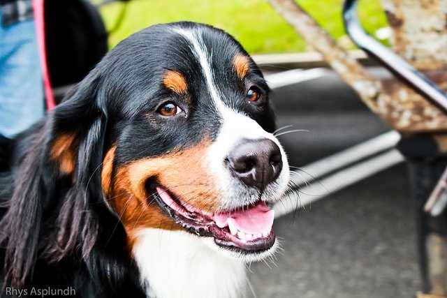 23. Duke (Rhys Asplundh/flickr)