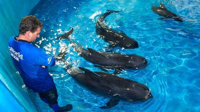 The four remaining pilot whales from Saturday's mass beaching on the Treasure Coast are now receiving treatment at SeaWorld Orlando. (Photo: SeaWorld Orlando)