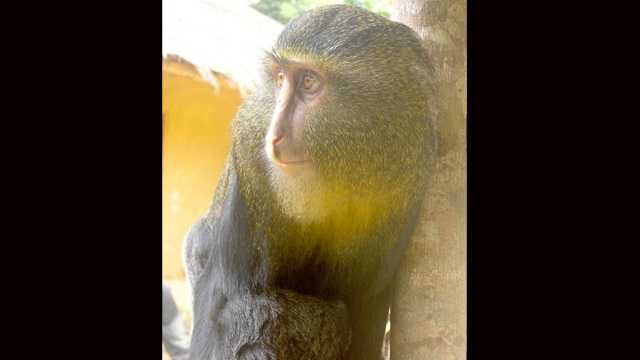 FAU professor Kate Detwiler helped discover this new species of African monkey.