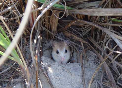 Anastastia Island beach mouse - ENDANGERED