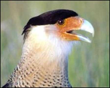 Audubon's crested caracara - THREATENED