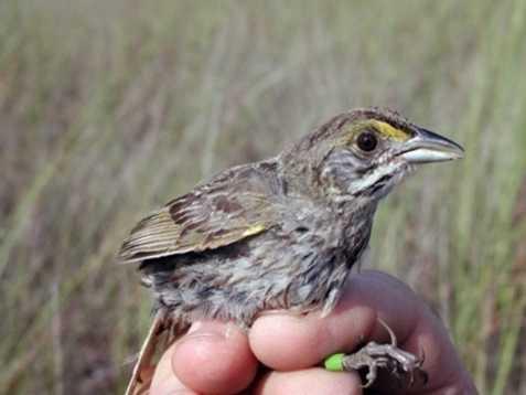 Cape Sable sparrow - ENDANGERED