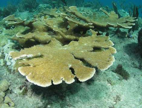 Elkhorn coral - THREATENED