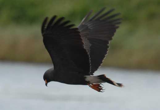 Everglade snail kite - ENDANGERED