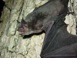 Gray bat - ENDANGERED