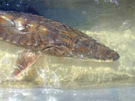 Gulf sturgeon - THREATENED