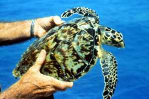 Hawksbill sea turtle - ENDANGERED