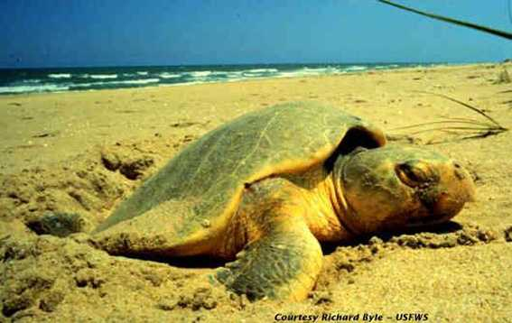 Kemp's ridley sea turtle - ENDANGERED