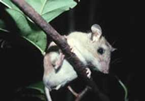 Key Largo cotton mouse - ENDANGERED