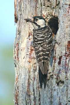 Red-cockaded woodpecker - ENDANGERED